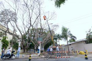 Iniciada a retirada de árvores na Via da Saudade